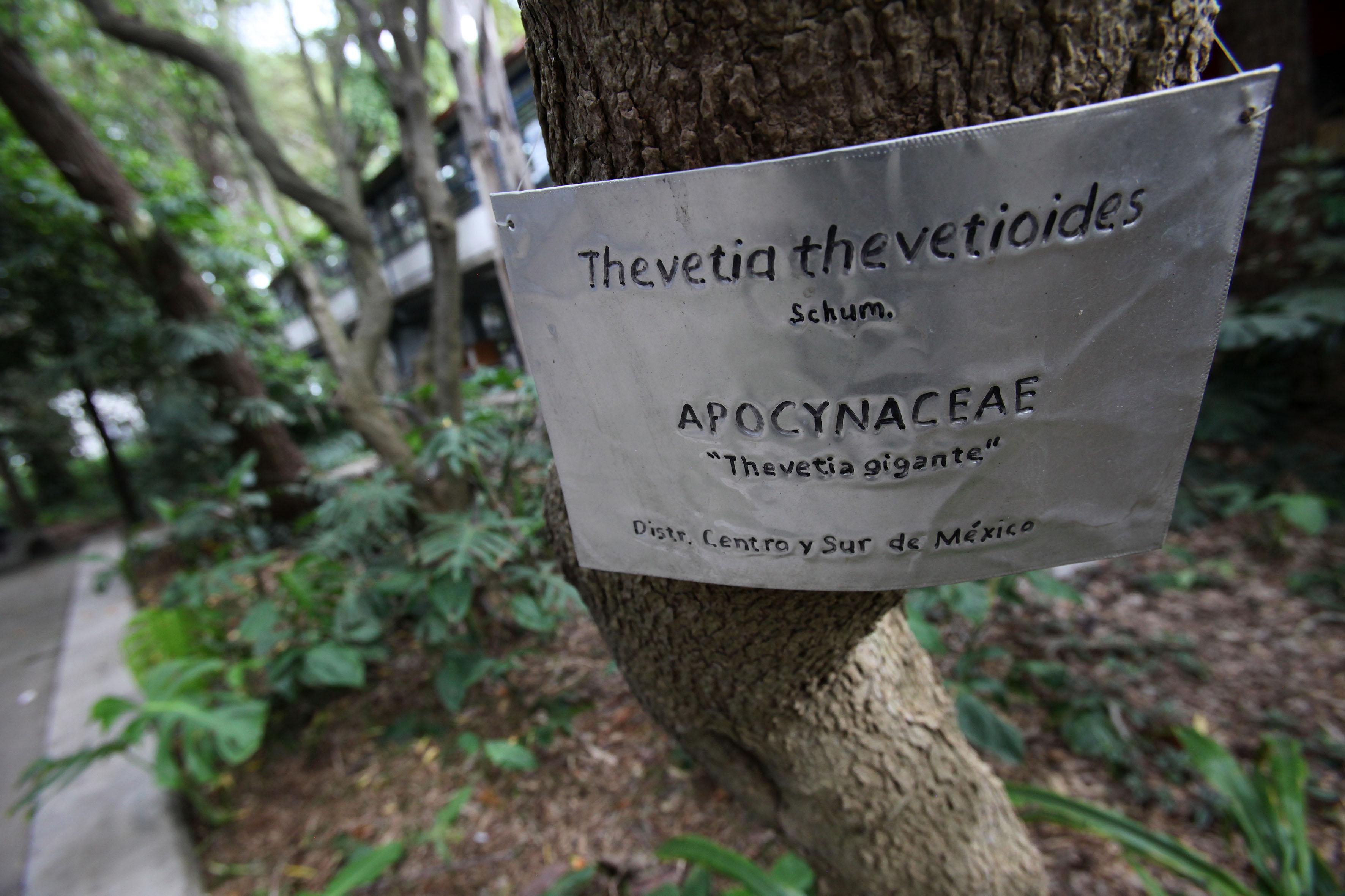 """Letrero  con información de un árbol llamado Thevetia thevetioides """"Thevetia gigante"""""""
