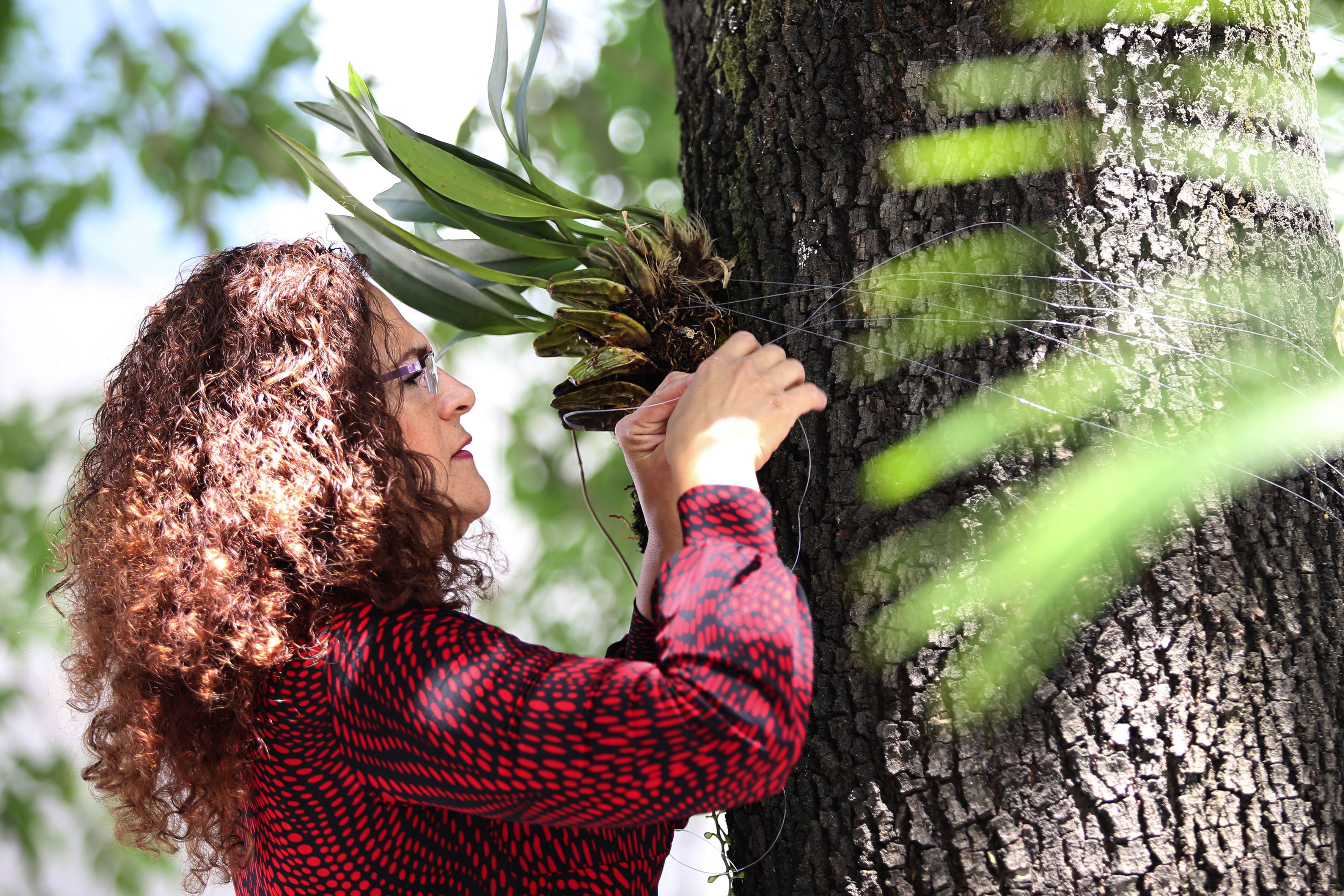 Mujer, implantando una especie de orquídea méxicana, alrededor del tronco del un árbol para su reproducción.