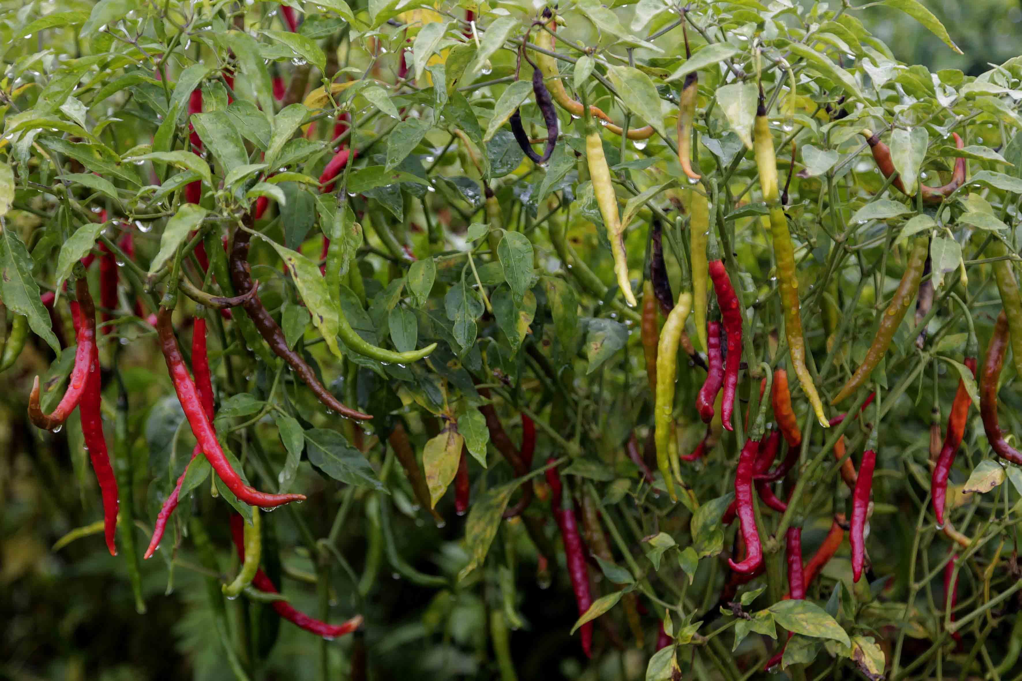 Chile de rbol yahualica nico en la gastronom a for Arboles de hojas perennes en chile