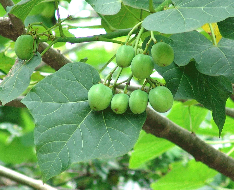 """El arbusto """"jatropha curcas"""" podría ser una alternativa para la obtención de biodiésel, señala estudiante del Centro Universitario de Tonalá (CUTonalá)"""