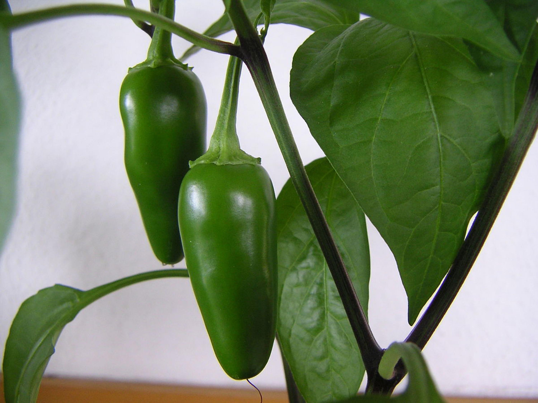 Dos chiles jalapeños verdes y frescos, aún colgando de su planta.