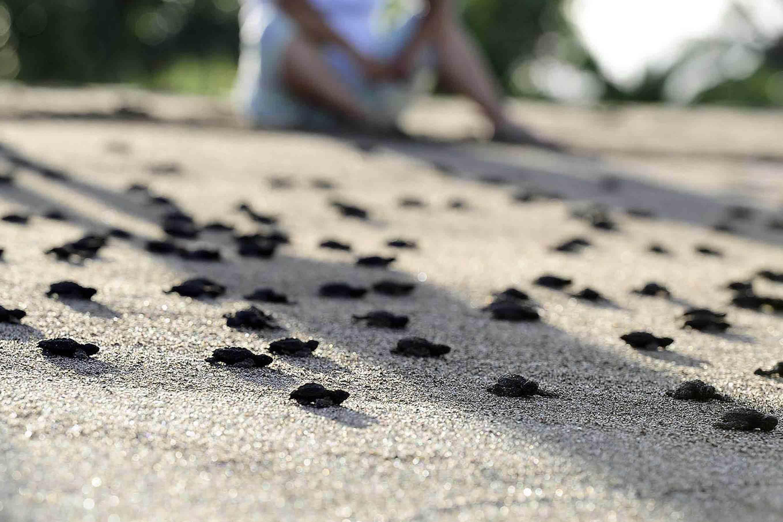 Persona observando la liberación de las crías de tortuga.