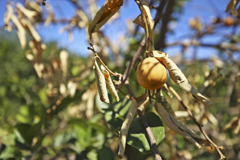 planta de limón con fruto desecado.