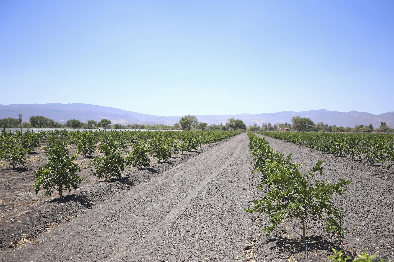 Campo de sembradío de árboles de limón persa.