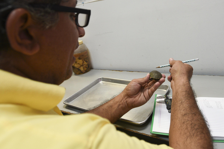 El investigador realiza mediciones de la tortuga Casquito de Vallarta en su laboratorio
