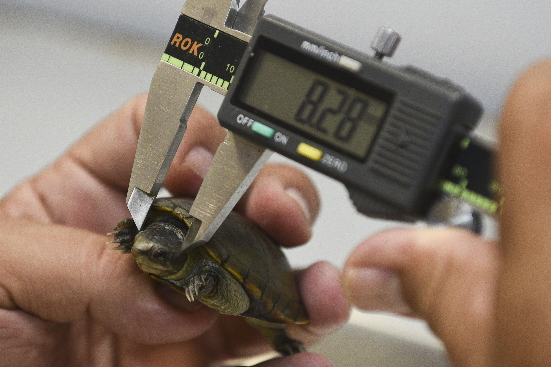 Una tortuga Casquito de Vallarta siendo medida con un pie de rey