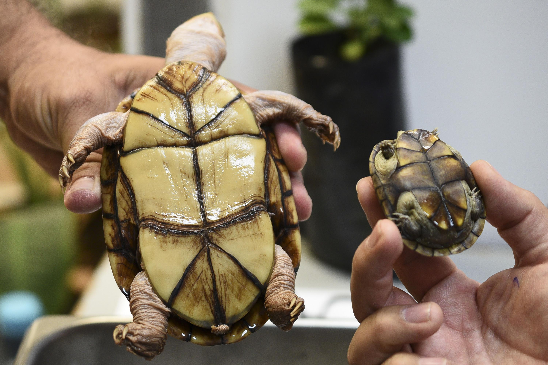 Dos tortugas sostenidas por investigadores para ver la parte baja del caparazon