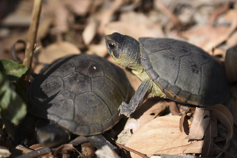 Dos tortugas Casquito de Vallarta en su habitat en Puerto Vallarta