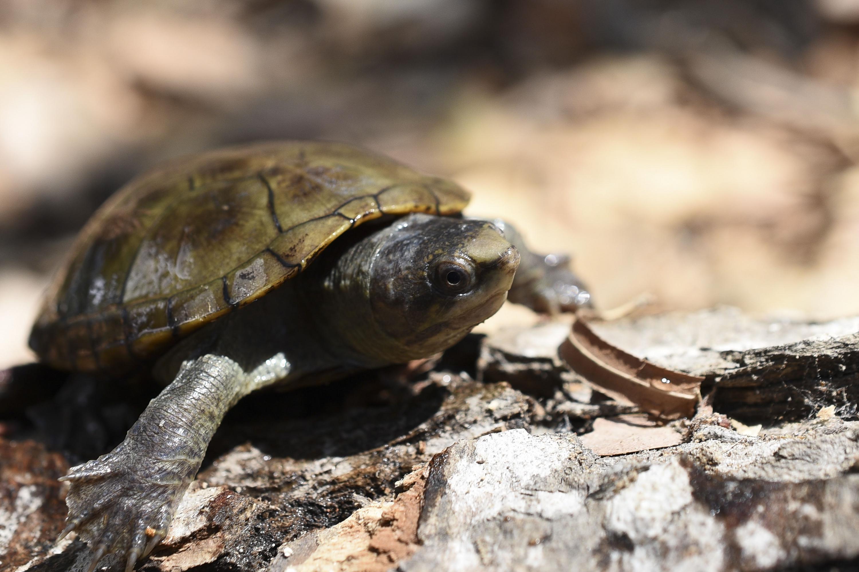 La tortuga es pequeña y cabe en la palma de la mano, foto de acercamiento
