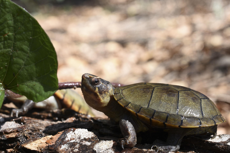 Una tortuga Casquito de Vallarta junto a una hoja de un arbusto de su habitat