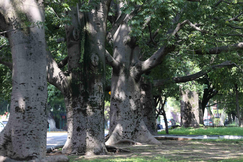 Dos arboles Ceiba en un parque de la ciudad de Guadalajara