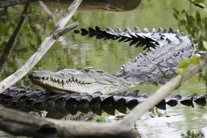 Dos caimanes nadan en una laguna o rio de la zona vallartense
