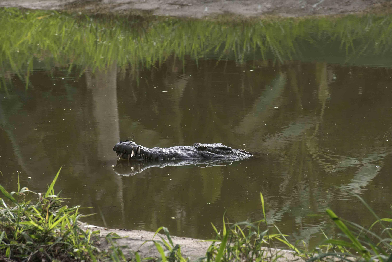Un cocodrilo se asoma desde la laguna en donde habita