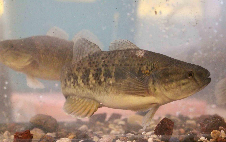 Pez chame (o puyeque), especie nativa del Pacífico conocida científicamente como Dormitator latifrons.
