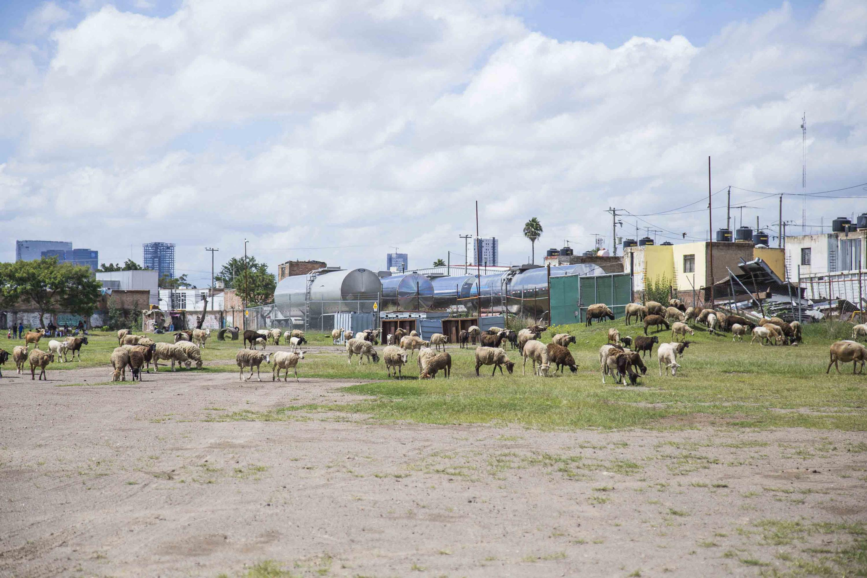 Manada de borregos pastorean en este territorio
