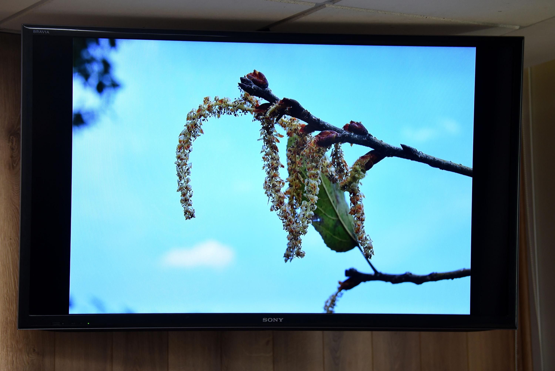Pantalla de la rueda de prensa mostrando a la nueva especie de álamo, el Populus primavera lepensis, que se acaba de descubrirse en el Bosque La Primavera