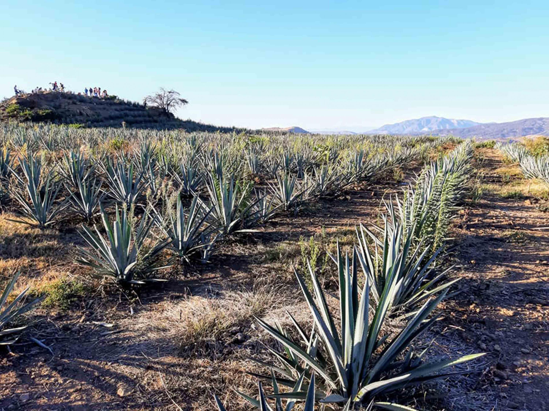Vista panorámica de plantación de agave, en la región Valles