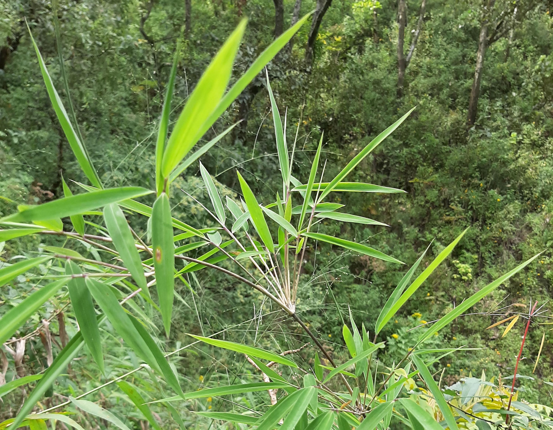 """Hasta el momento, """"Chusquea contrerasii"""" y """"Chusquea guzmanii"""" son las primeras plantas de este tipo completamente oriundas de la entidad"""