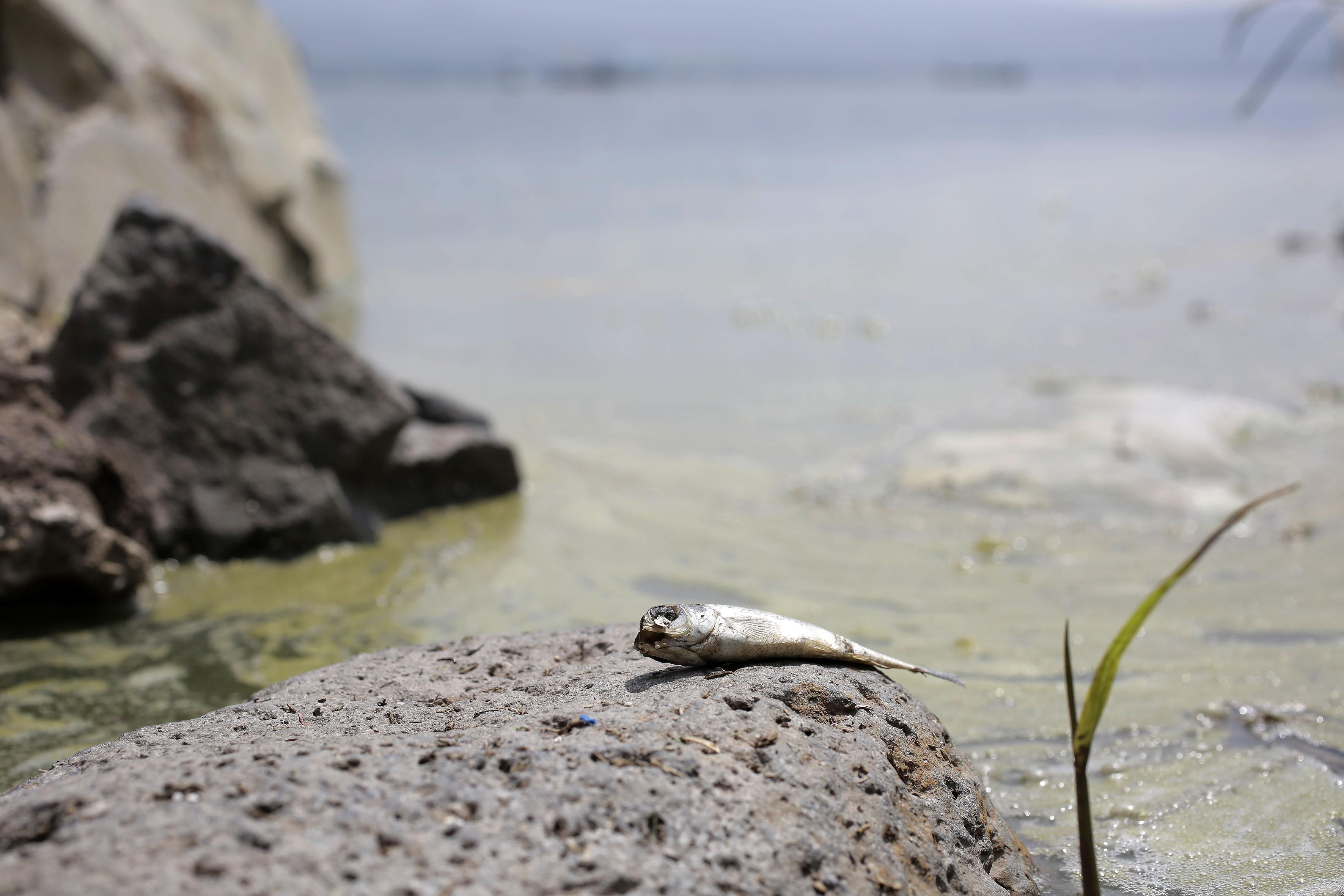 Pez en una piedra en la laguna de Cajititlán