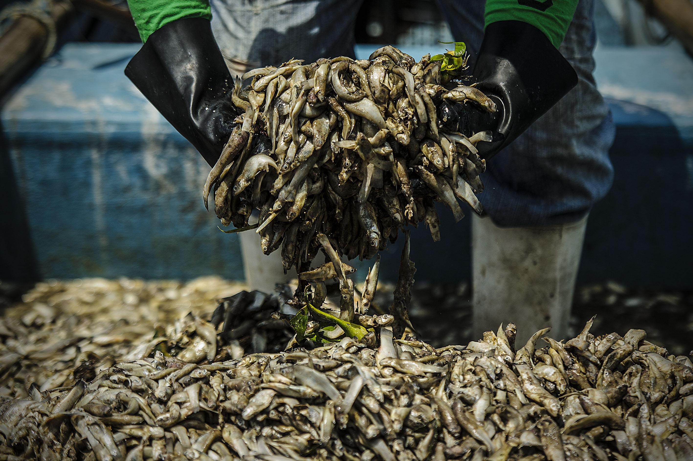 Persona con guantes, mostrando peces muertos
