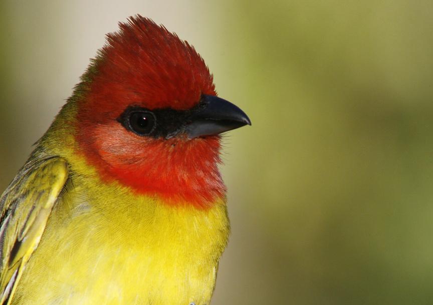 Ave migratoria de color rojo y amarillo
