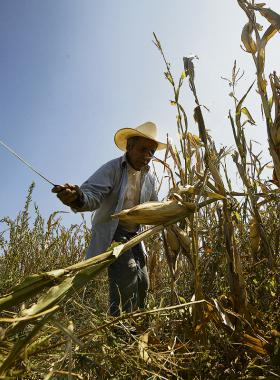 Campesino cortando con machete, matorrales de la siembra de maíz.